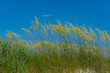 Tall Grass Blowing in Breeze