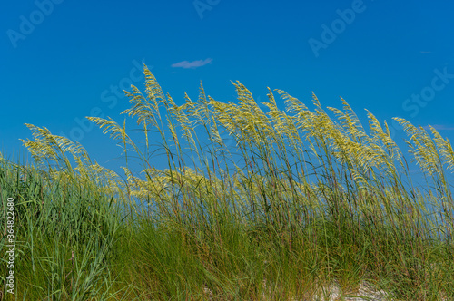 Photo Tall Grass Blowing in Breeze