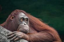 Portrait Of An Orangutan, Born...