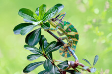 Chameleon On A Branch, Indonesia