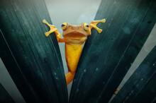 Dumpy Tree Frog On A Leaf, Indonesia