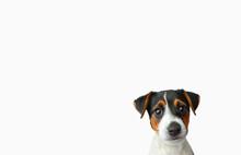 Studio Shot Of Jack Russel Terrier Puppy