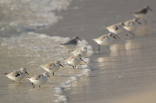 Sanderlings In The Surf