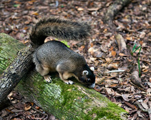 Sherman Fox Animal Stock Photos. Fox Squirrel Sitting On A Moss Branch In Its Habitat With A Brown Leaves Background, Displaying Brown Grey Fur, Body, Head, Eye, Ears, Nose, Paws, Bushy Tail.