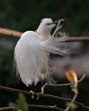 Snowy Egret Bird Stock Photos. Image. Portrait. Picture. Beautiful White Fluffy Feathers Plumage. Perched On A Branch With Blur Background. Cleaning Feathers. White Colour Feather Plumage.