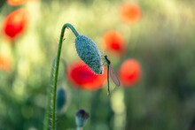 An Unopened Bud Of A Field Poppy In The Morning Light On A Summer Day On Which A Dragonfly Sits.
