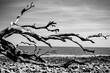 Driftwood Beach | Digital Image Print | Black and White | Jekyll Island | Georgia | Download | Landscape & Nature Photography | Wall Art