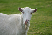 Close Up Of A White Billy Goat...