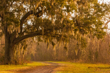 Live Oak Tree Draped With Span...