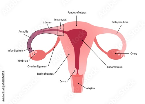 Anatomical Structure of fallopian tube Wallpaper Mural