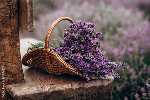 Fototapeta Wicker basket of freshly cut lavender flowers on a natural wooden bench among a field of lavender bushes. The concept of spa, aromatherapy, cosmetology. Soft selective focus. obraz