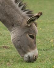 Head Shot Of Hungry Donkey Gra...