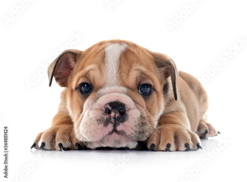 Fototapeta puppy english bulldog obraz
