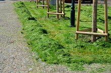 Maintenance Of Greenery By Mowing High Meadows Between Trees Newly Planted Pile Of Grass Along The Path Ready For Raking