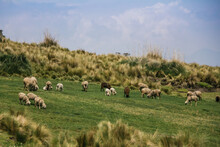 Sheep Grazing In The Andes Moo...