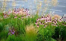 Pink Prairie Garden Perennial ...