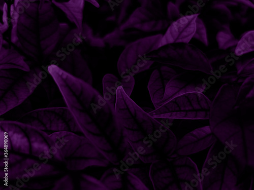 Beautiful abstract color blue and purple flowers on dark background and purple graphic pink flower frame and pink leaves texture, purple background, colorful graphics banner, purple leaves #364890069