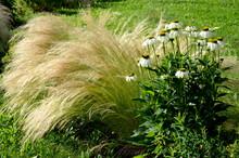Ornamental Steppe Grasses Can ...