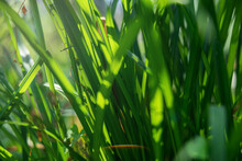 Green Sprouts Of Young Grass T...
