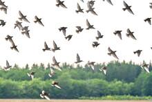 Flying Pigeons. Flock, Flight ...