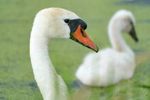 One White Swan With Orange Beak, Swim In A Pond. Swan Duck In Backgound. Head And Neck Only. Duckweed Floats In The Water