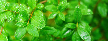 Fresh And Green Leaves With Ra...