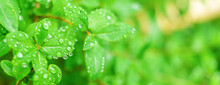 Fresh, Lush, And Green Leaves With Raindrops In Summer. Beautiful Droplets Of Water On Juicy Leaves Outdoors. Purity And Freshness Concept. Wide Banner Nature Wallpaper. Close Up Macro View.