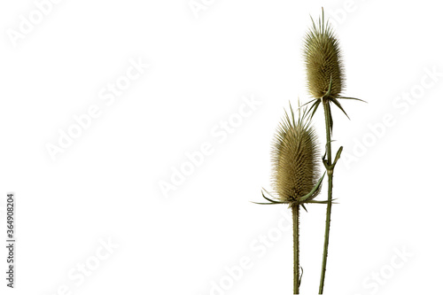 a thistles  prickly plant  isolated on the white background Billede på lærred