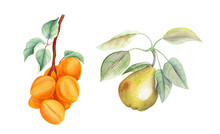Watercolor Fruits: Apricot And...