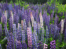 Lupine Flowers In The Forest. ...