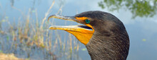 Double Crested Cormorant In Th...