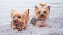 Two Yorkshire Terriers. Dogs L...