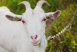 Fototapeta Zwierzęta - portrait of a very cute white goat with a collar in the village in the  summer
