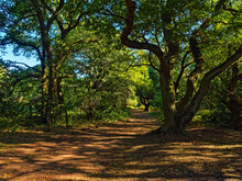 Footpath Between Tall Trees Th...