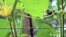 Cucumber Beetle Hitching A Ride On Another While It Walks Along Vines.