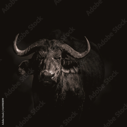 Fototapety, obrazy: Close up of a buffalo