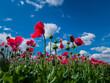 Österreich, Niederösterreich, in der Nähe von Armschlag. Ein Feld mit blühendem,  roten Mohn erfreut das Auge.