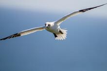 Northern Garnet Flying Against...