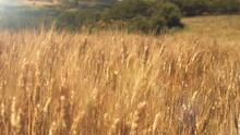 Yellow Ripe Organic Wheat Field In A Farm At Sunset Under Sunlight. Harvest. Breeze.