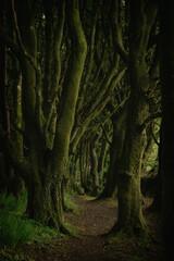 The dark wood cornish beech trees