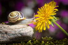 Grove Snail And Yellow Dandel...