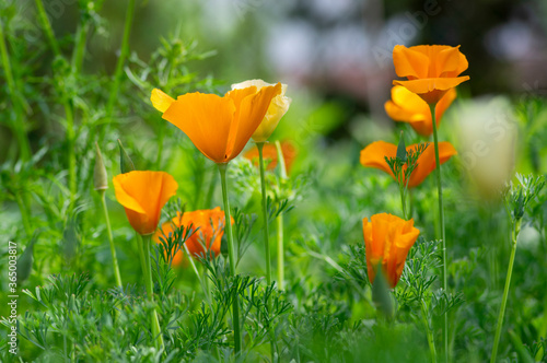 Eschscholzia californica cup of gold flowers in bloom, californian field, orname Canvas-taulu