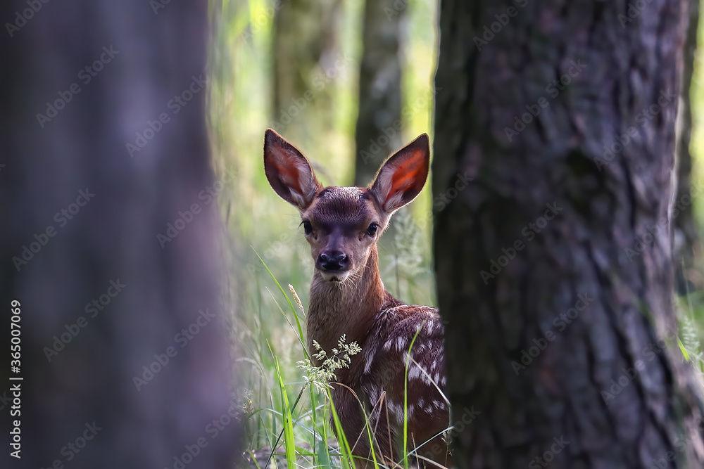 Fototapeta Młody jeleń w lesie