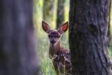Fototapeta Zwierzęta - Młody jeleń w lesie (Cervus elaphus), dziecko jelenia, bambi, młode zwierzę z dużymi uszami