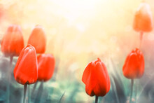 Beautiful Red Tulips In A Soft...