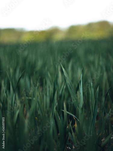Obraz A close up of a blade of grass - fototapety do salonu