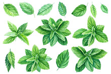 Peppermint Leaves, Watercolor Painting, On Isolated Background