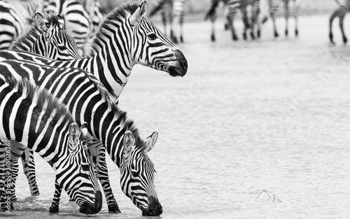Zebras in black & white