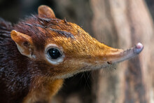 Black And Rufous Elephant Shrew, (Rhynchocyon Petersi)