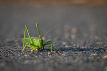 A Grasshopper Warms Up On Asph...